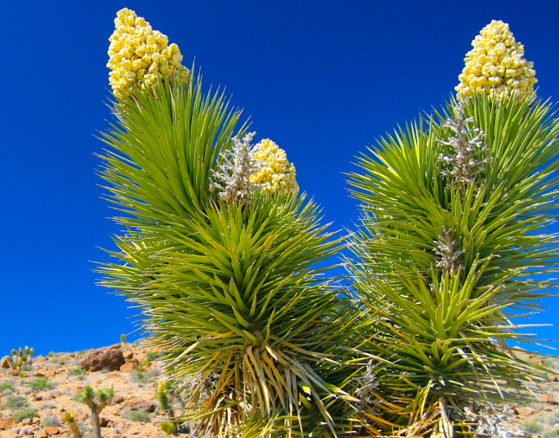 yucca-velka-konkurence-chlorelly-0.png.big.jpg (792×620)
